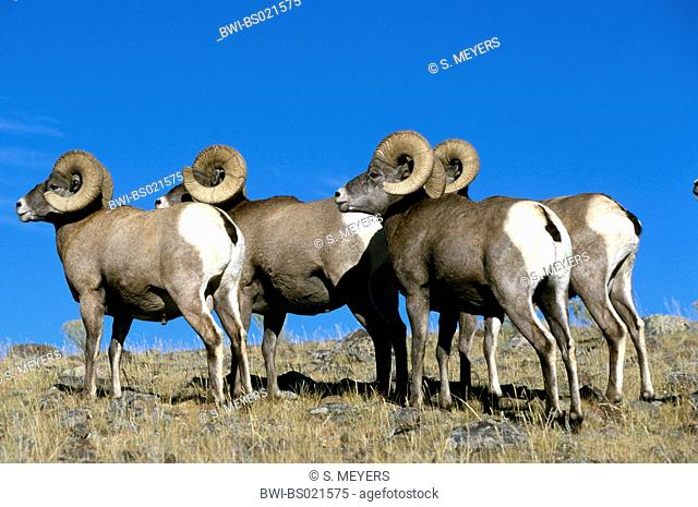 bighorn sheep, American bighorn, mountain sheep (Ovis canadensis), group of standing rams, side view, USA, Wyoming, Yellowstone National Park