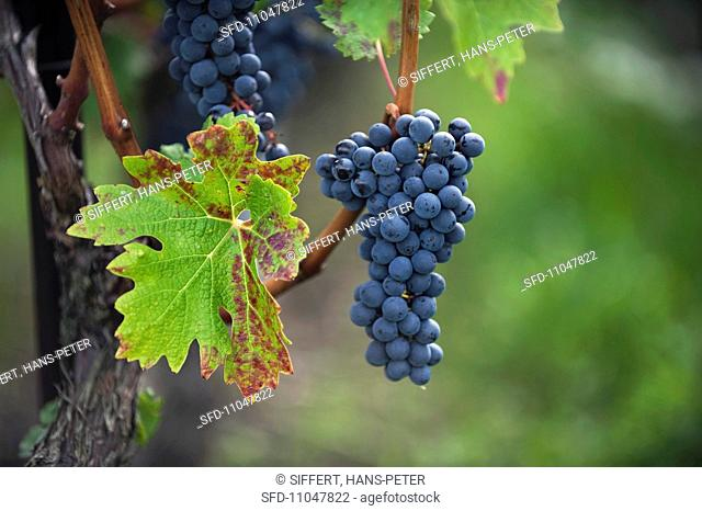 Red wine grapes Gamaret or Gamay on a vine