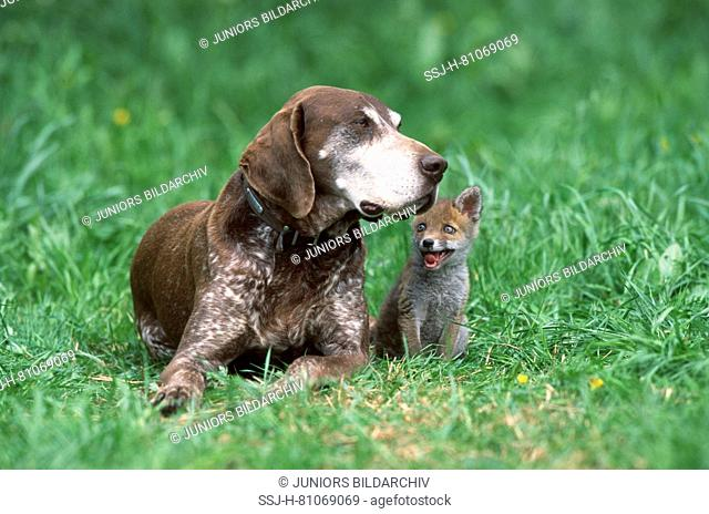Animal friendship: German Shorthaired Pointer and young red fox (Vulpes vulpes) on a meadow. Germany