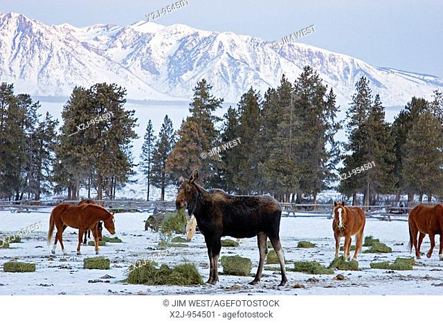 Moose, Wyoming - A moose joins horses feeding on hay in the early morning at the Triangle X ranch in Grand Teton National Park  The Teton mountain range is in...