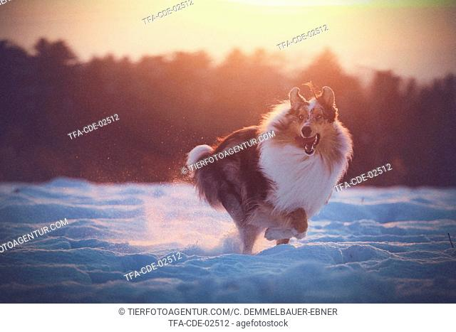 running longhaired Collie