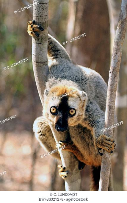 Red-fronted lemur. Red-fronted brown lemur, Southern red-fronted brown lemur (Eulemur rufifrons), male is clinging to tree trunk and looking curiously