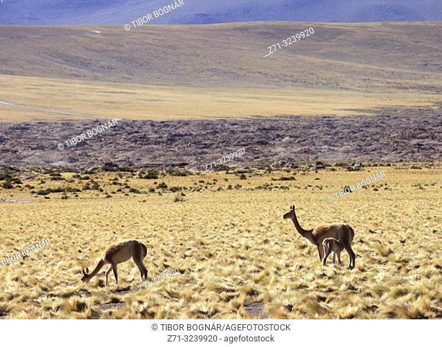 Chile, Antofagasta Region, Atacama Desert, Andes Mountains, vicunas, vicugna vicugna,
