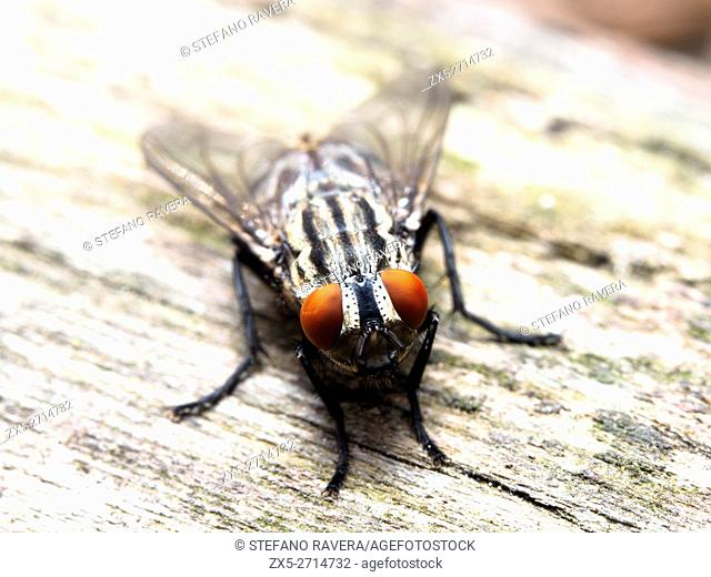 House fly (Musca domestica) - Italy