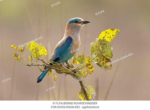Indian Roller (Coracias benghalensis) adult, perched on twig, Tadoba N.P., Maharashtra, India, March