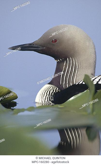 PACIFIC LOON, (Gavia pacifica) ADULT PORTRAIT AMONG WATER LILIES, NORTH AMERICA
