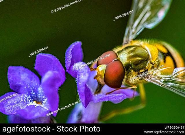 A syrphid comes to admire a purple flower up close