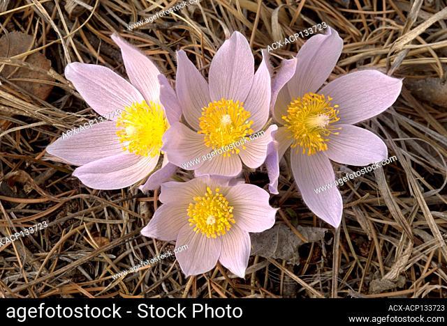Blossom of the prairie crocus (Anemone patens) Mars Hill Wildlife Management Area Manitoba Canada