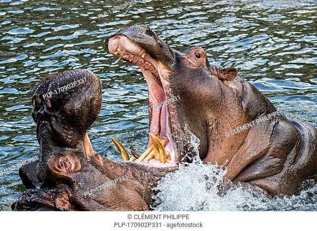Fighting hippopotamuses / hippos (Hippopotamus amphibius) in lake showing huge teeth and large canine tusks in wide open mouth