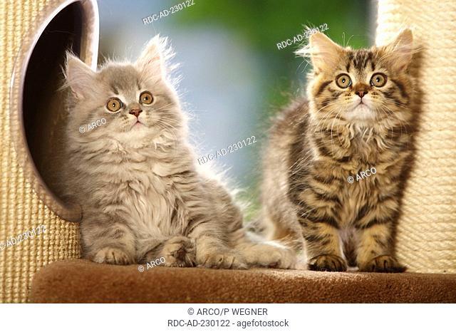 British Longhair Cat, kittens, blue-silver-tabby and black-golden-tabby, Highlander, Lowlander, Britanica