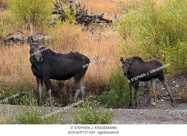 Shiras Moose (Alces alces sherasi), Grand Teton National Park, Wyoming, cow and yearling, autumn