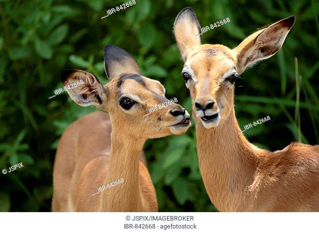 Impala (Aepyceros melampus), calves, social behaviour, portrait, Kruger National Park, South Africa, Africa