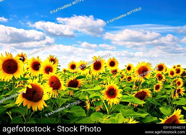 Sonnenblume mit blauem Himmel