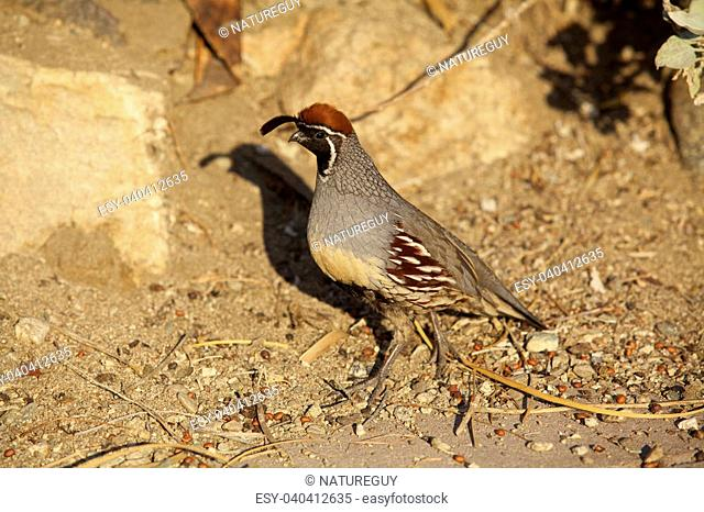 a gambel's quail male in the desert