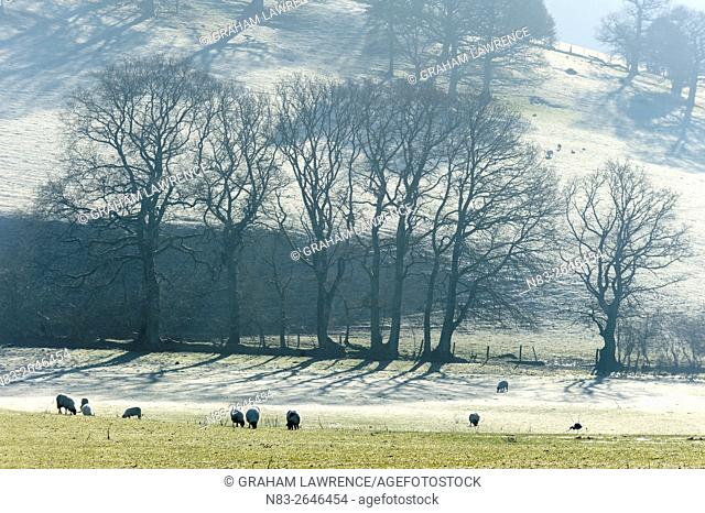 Sheep graze on a very cold morning in a field near Builth Wells, Powys, Wales, UK>