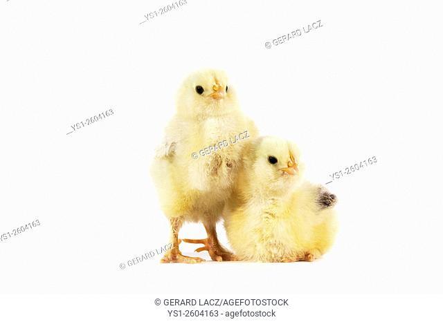 Chicks against White Background