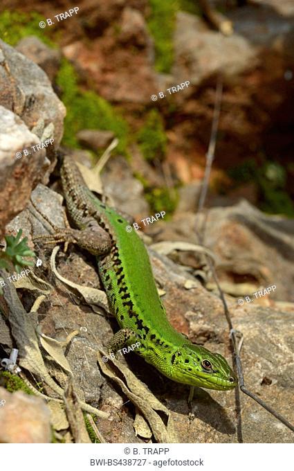 Balkan wall lizard, Balkan lizard (Lacerta ionica, Podarcis taurica ionica, Lacerta taurica ionica, Podarcis tauricus ionicus), sitting on a rock, Greece