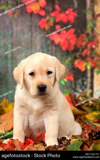 Yellow Labrador puppy outdoors in autumn