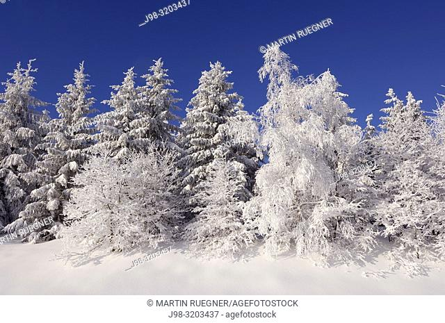 Snow covered trees. Black Forest, Baden-Wuerttemberg (Baden-Wurttemberg), Germany, Europe
