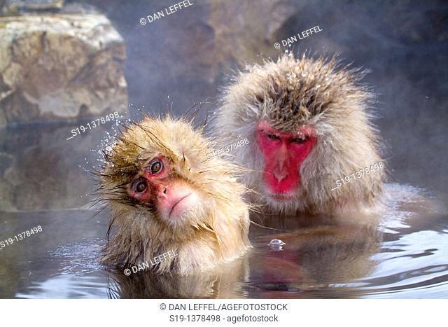 Japanese macaques (Macaca fuscata). Jigokudani Monkey Park, Nagano Prefecture, Japan
