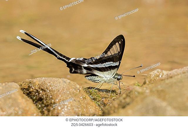 Dragontail Butterfly, Lamproptera meges, Garo hills, Meghalaya