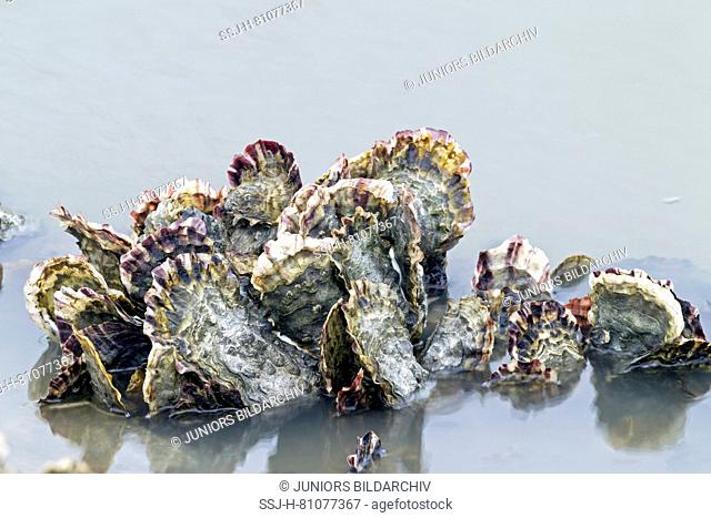 Pacific Oysters (Crassostrea gigas) at the German North Sea coast, Germany. Pacific oysters have been introduced into the Wadden Sea by aquaculture in the 1980s