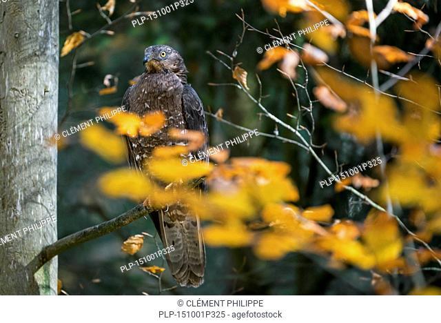 European honey buzzard (Pernis apivorus) perched in tree in deciduous forest in autumn