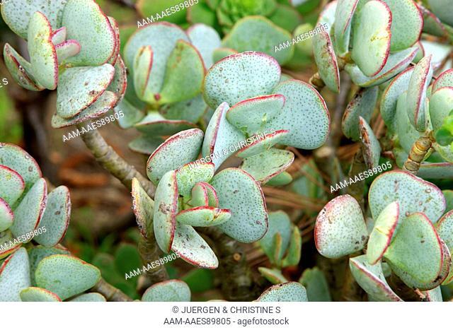 Silver Jade Plant leaves (Crassula arborescens) California, USA