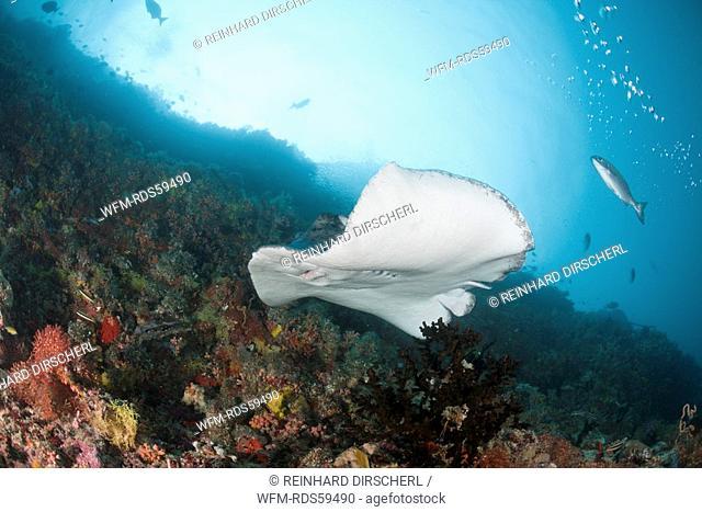 Blotched Fantail Stingray, Taeniura meyeni, Ellaidhoo House Reef, North Ari Atoll, Maldives