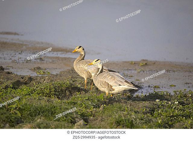 Bar Headed Goose, Anser indicus, Kaziranga Tiger Reserve, Assam, India