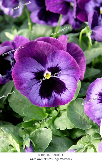 Karma Denim Pansy, Viola Hybrid