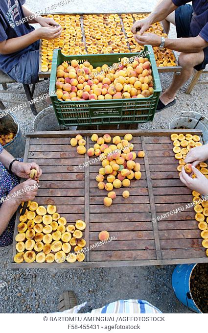 Preparing to dry apricots. Sun dried fruits. Porreres. Mallorca. Balearic Islands. Spain