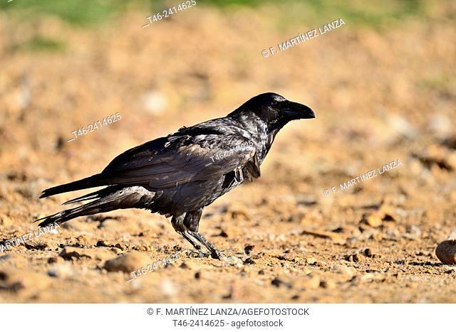 Carrion crow (Corvus corone corone) on a dunghill in Campo de San Pedro, Segovia province, Castilla-Leon. Spain