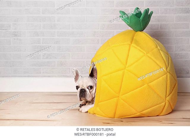 French bulldog lying in his bed shaped like pineapple