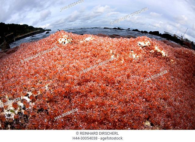 Juvenile Crabs returning from Sea, Gecarcoidea natalis, Christmas Island, Australia