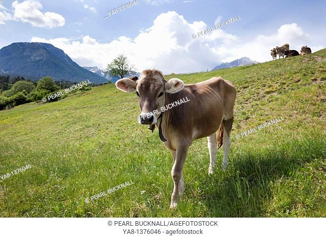 Imst Austria Europe / June Cow wearing a cowbell in an Alpine meadow in a valley in summer