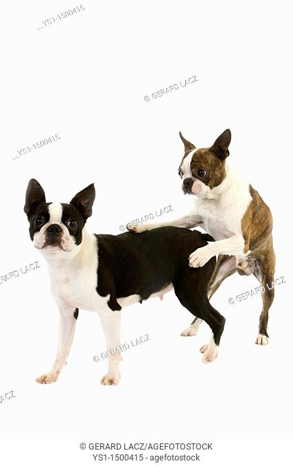 Boston Terrier Dog, Pair mating against White Background