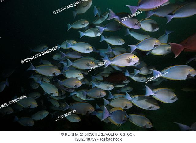 Shoal of Elongate Surgeonfish, Acanthurus mata, Triton Bay, West Papua, Indonesia
