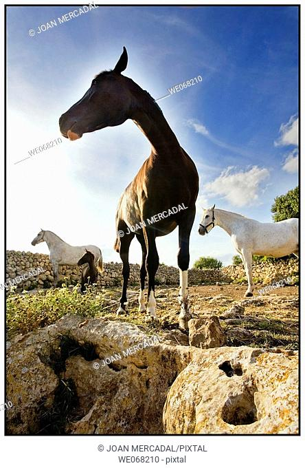 Horses. Minorca, Balearic islands, Spain
