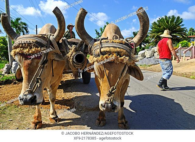 Oxcart.Viñales Valley.Pinar del Río province.Cuba