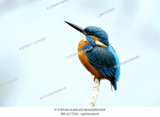 Kingfisher (Alcedo atthis) perched on a branch, Cham, Switzerland, Europe