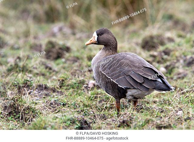 Greater or Greenland White fronted Goose with a light covering of rain. Islay Scotland
