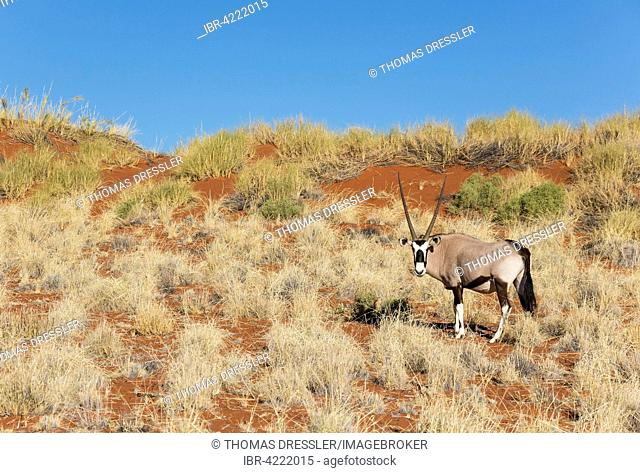 Gemsbok or gemsbuck (Oryx gazella) on grassy dune, edge of Namib Desert, NamibRand Nature Reserve, Namibia