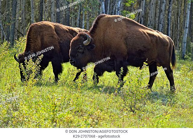 Wood bison (Bison bison athabascae) Family group, Wood Buffalo Naional Park, Alberta, Canada