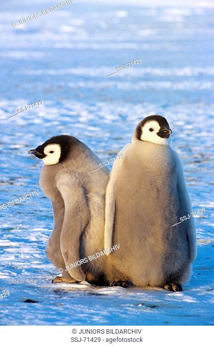 aptenodytes forsteri / emperor penguin - 2 cubs
