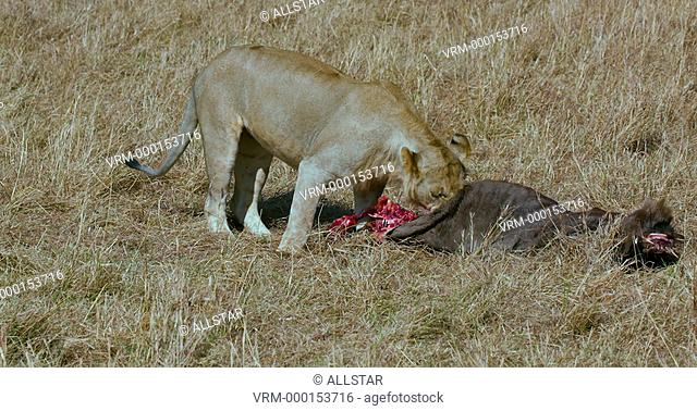 YOUNG LION EATING WILDEBEEST IN LONG GRASS; MAASAI MARA, KENYA, AFRICA; 11/09/2016