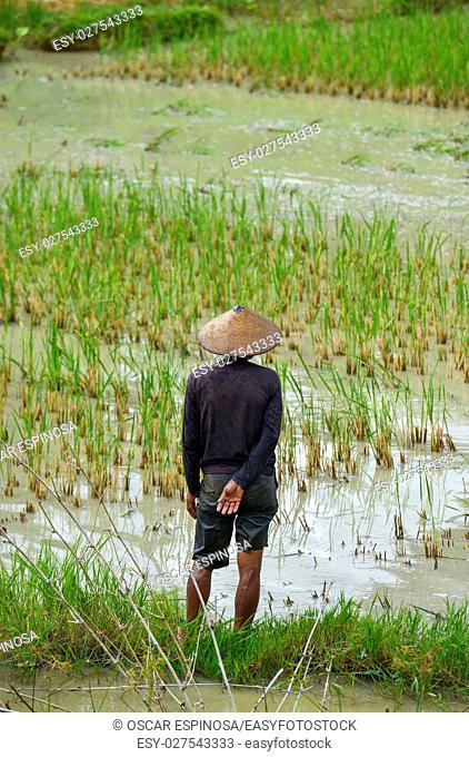 A man in a rice field in Tana Toraja, Sulawesi, Indonesia