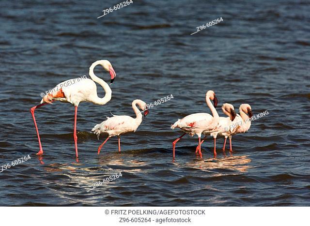 Greater flamingos (Phoenicopterus ruber) and Lesser flamingos  (Phoenicopterus minor). Lake Ndutu, Serengeti, Tanzania, Africa