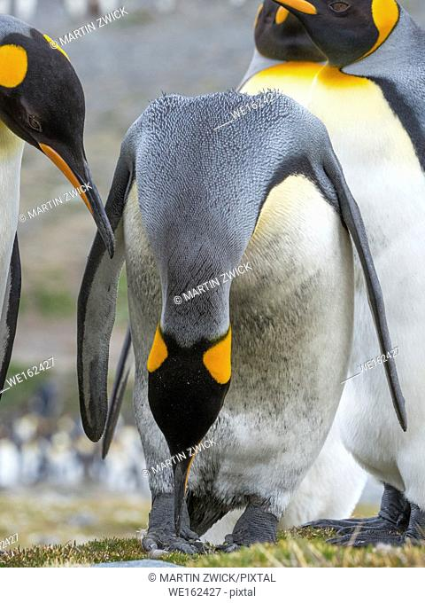 King Penguin (Aptenodytes patagonicus) on the island of South Georgia, the rookery in St. Andrews Bay. Courtship behaviour