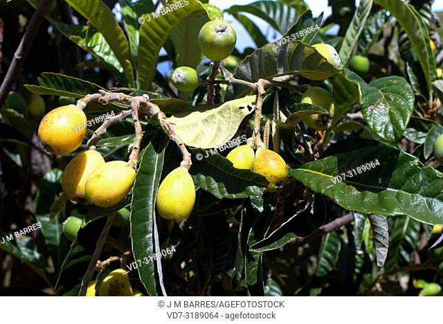 Loquat or Japanese medlar (Eriobotrya japonica) is a small tree native to China. Its fruits are edible